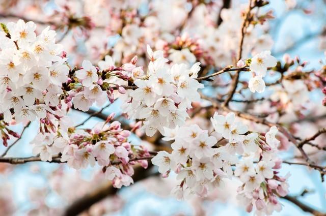 桜の季節.jpg